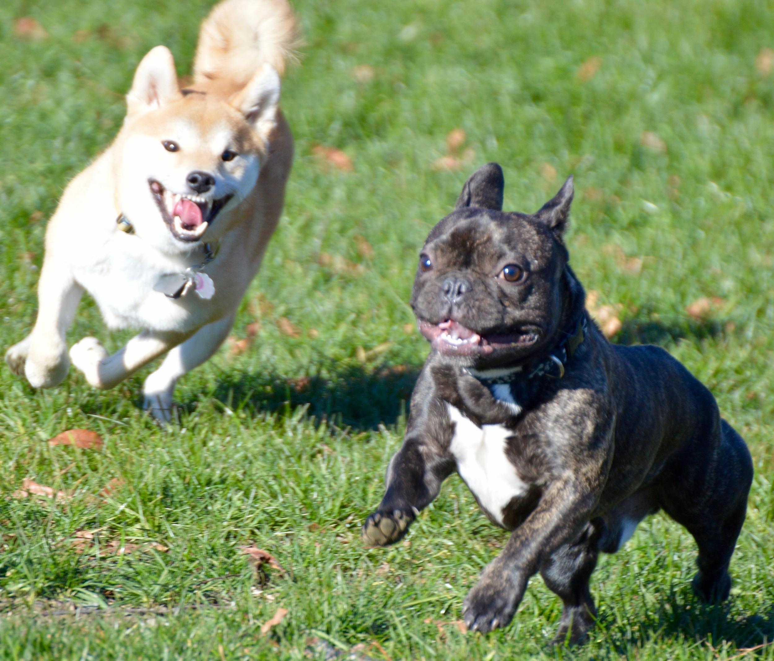 shiba inu bulldog mix dogs happy to run free at new off leash park in portsmouth 4710