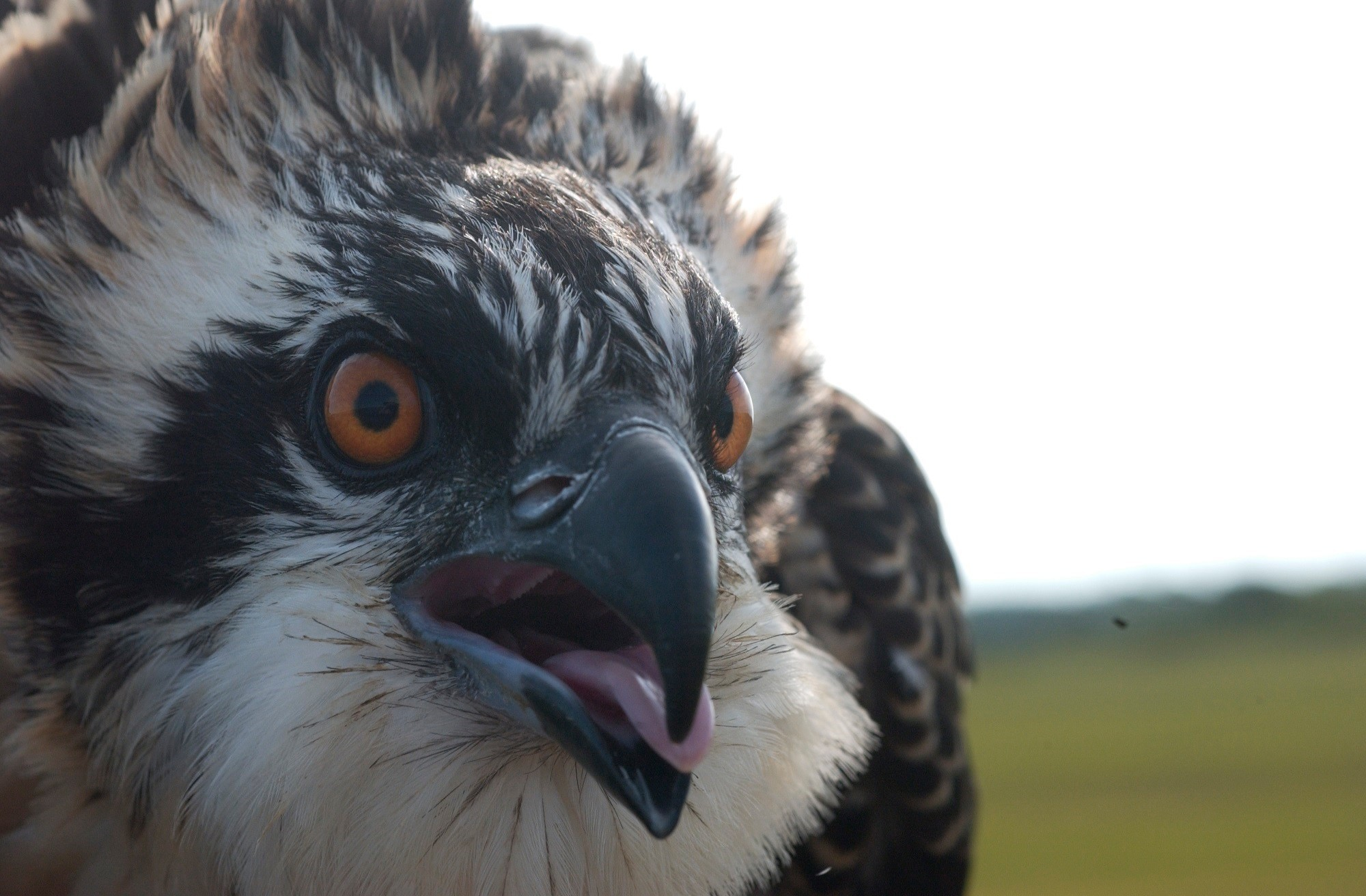A close look at a Westport osprey. To learn more about the fish hawks and how you can help, come to the Adult Field School on June 24.