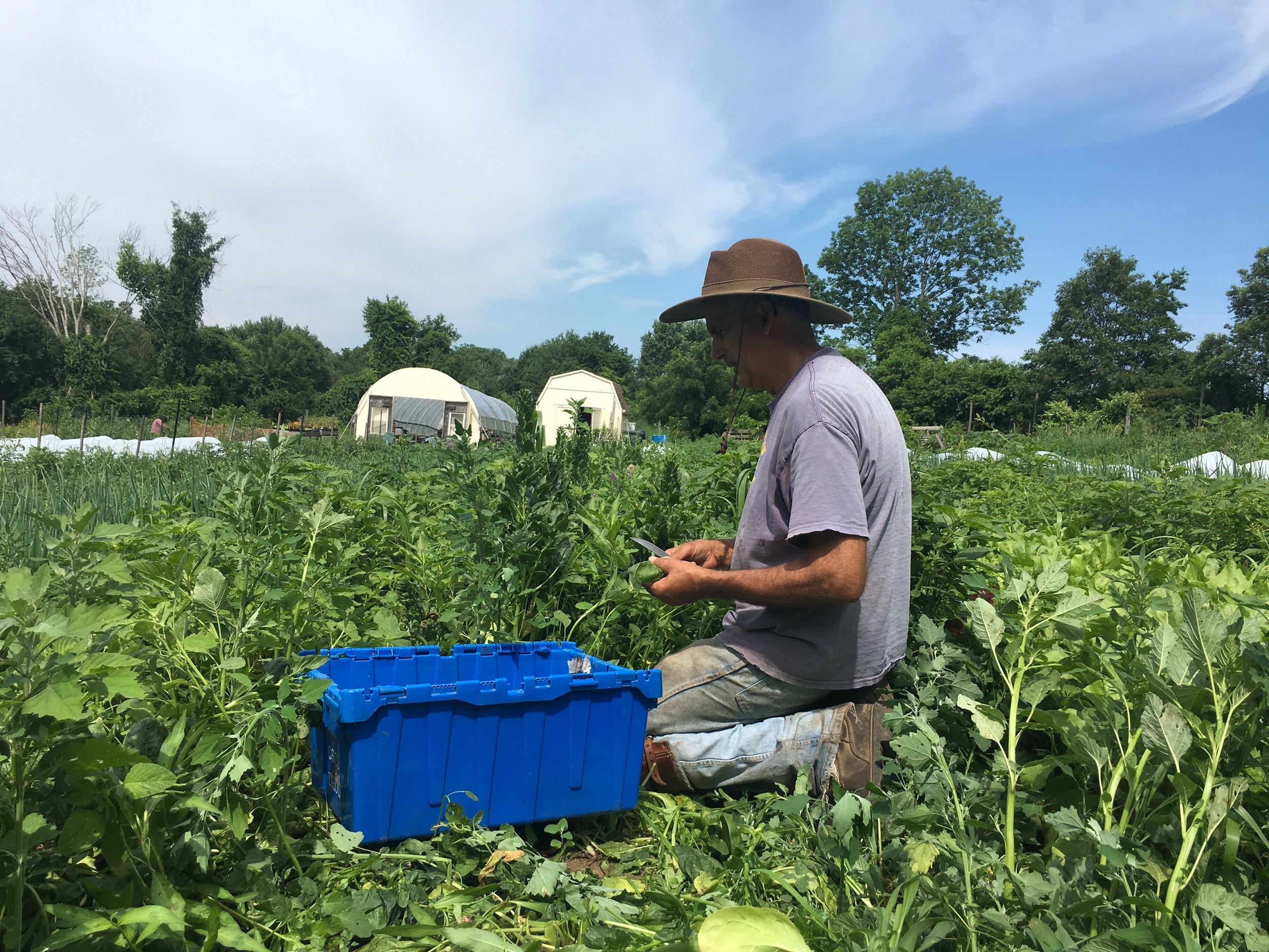 Steve Stycos, a Cranston City Councilor and proprietor of Westbay Farm on Centerville Road in Warwick, shears spinach in the field.