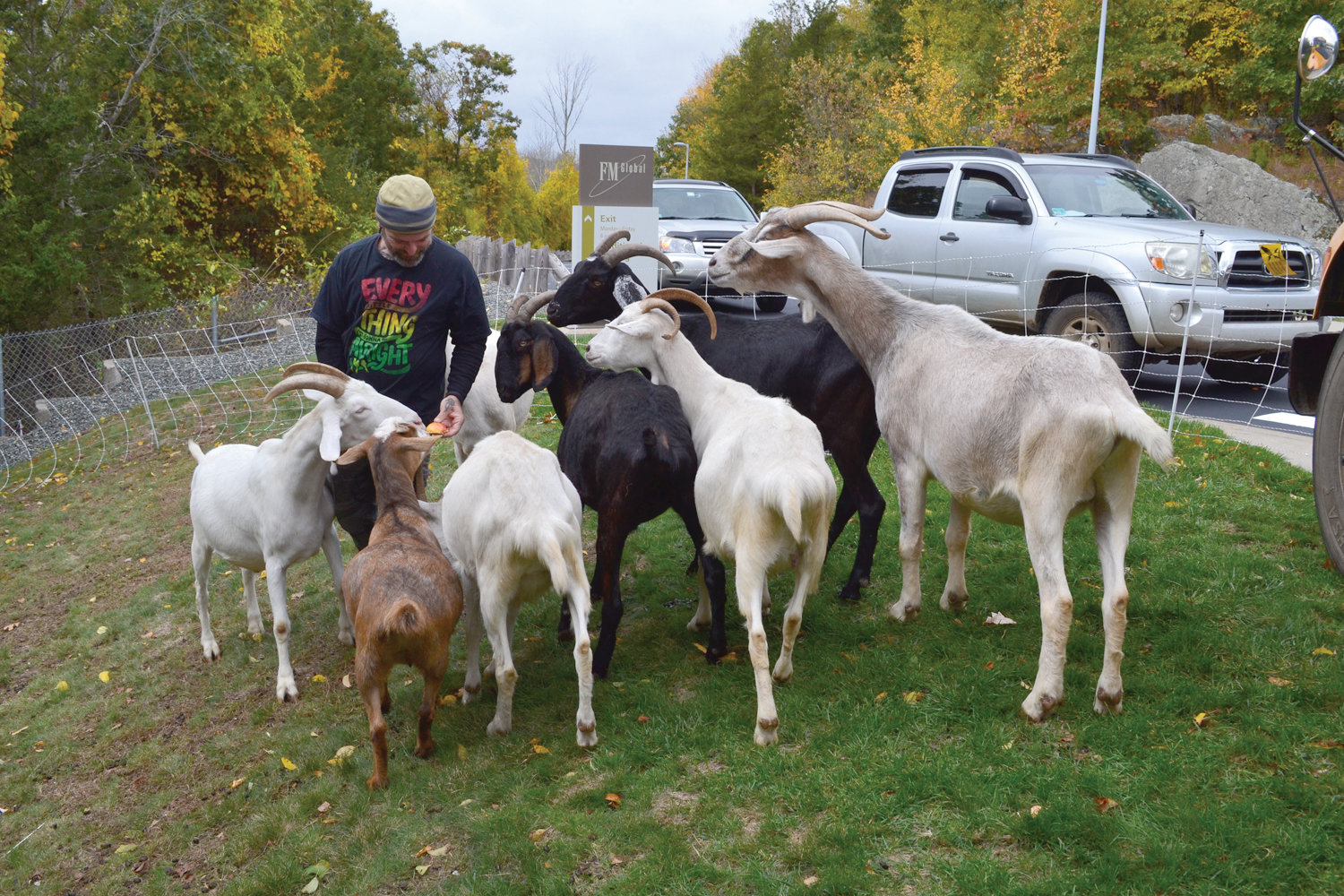 HAVE YOU HERD? Laurel Hill Microfarm goat herder Wayne Pitman feeds some of his loyal companions before they go to work at FM Global last Thursday.