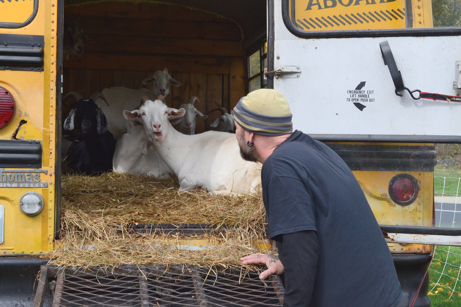 GOAT TOTE: In between munching on vegetation, the goats relax in the school bus-turned-rolling barn, the Goat Tote.