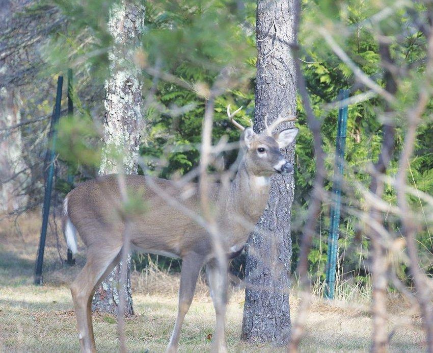 A buck seen through tree branches off Barrett Farm Road Friday. Shotgun deer-hunting season opens Monday.