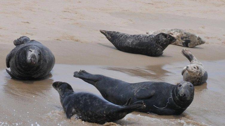 Seals gather on Monomoy Island off Chatham.