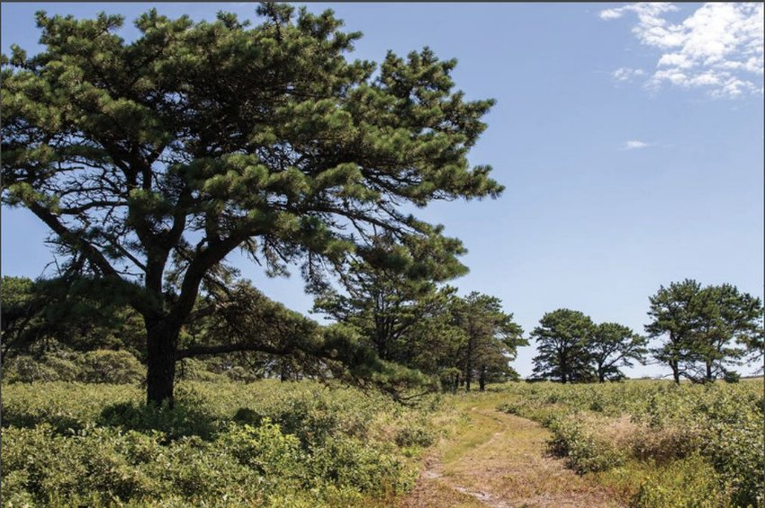 The Nantucket Conservation Foundation recently cut a new trail from Milestone Road to Altar Rock that winds through the Middle Moors.