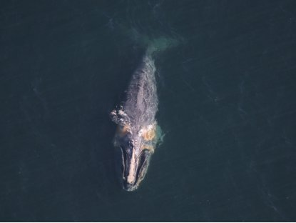 Critically endangered North Atlantic right whale spotted with a buoy caught in its mouth. Scientists worry it will not survive.