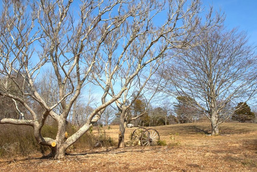 From left, Chinese chestnut and copper beech trees on the former Reyes property off Polpis Road now owned by the Nantucket Islands Land Bank.