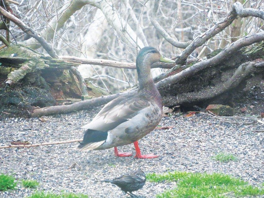This Mallard-Black Duck hybrid shows characteristics of both.