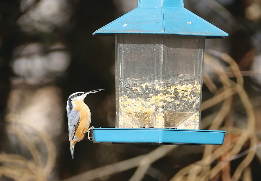 The bill deformity on this Red-breasted Nuthatch is probably a sign of avian keratin disease.
