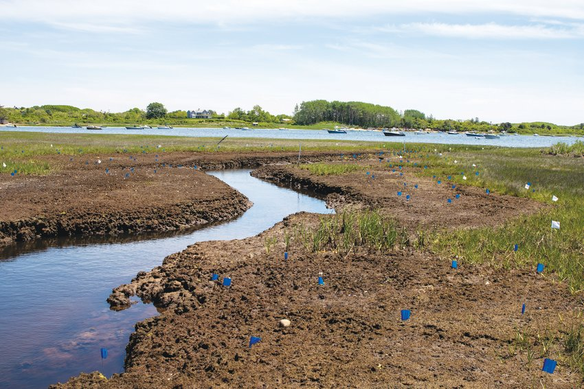 Nantucket Conservation Foundation research program supervisor Jen Karberg in the field studying the purple crab and the damage the crabs have done to Medouie Creek saltmarsh.