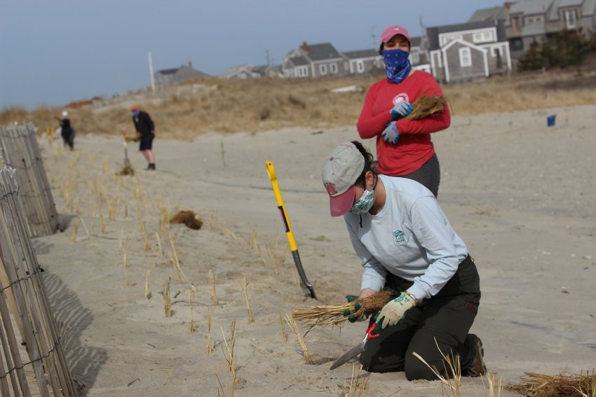 Volunteers plant beach grass last week for a dune-stabilization project on a stretch of sand that washed over into Hither Creek from Madaket Beach in a 2017 winter storm.