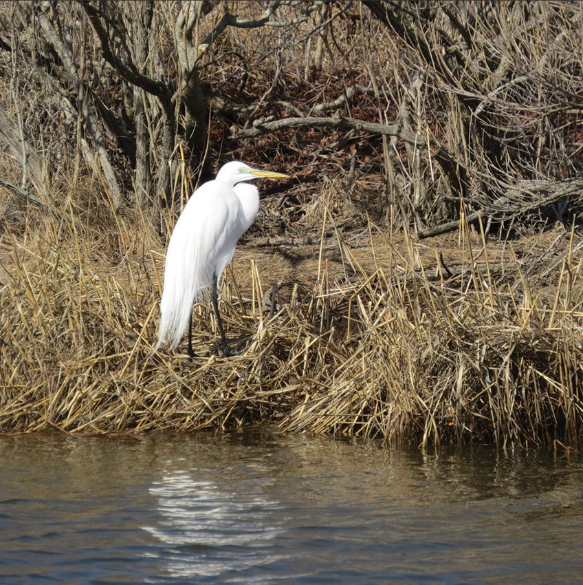 One of two Great Egrets sheltering from the wind in the Madaket Ditch Monday morning.