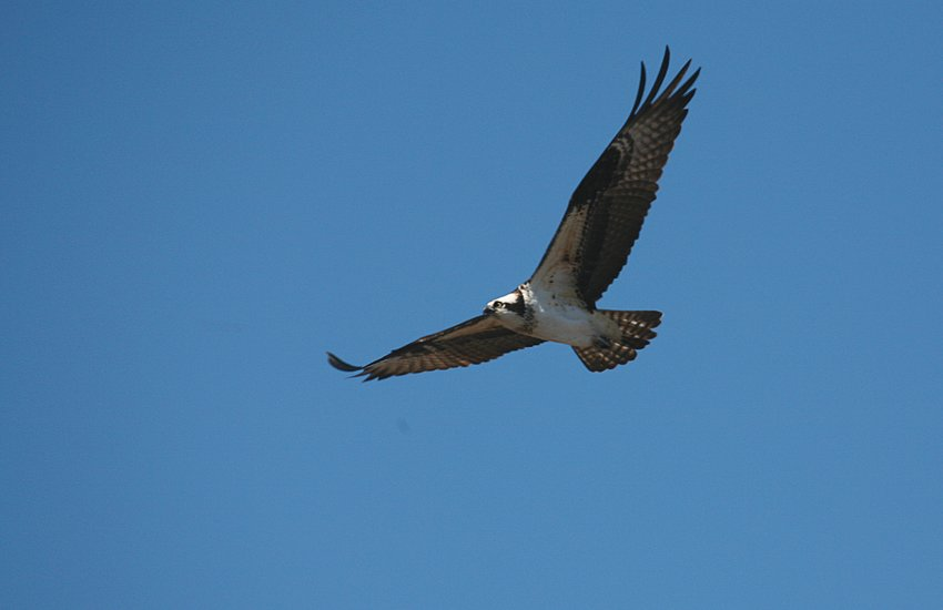 An osprey on the wing over Long Pond, Madaket, observed on Good Friday.