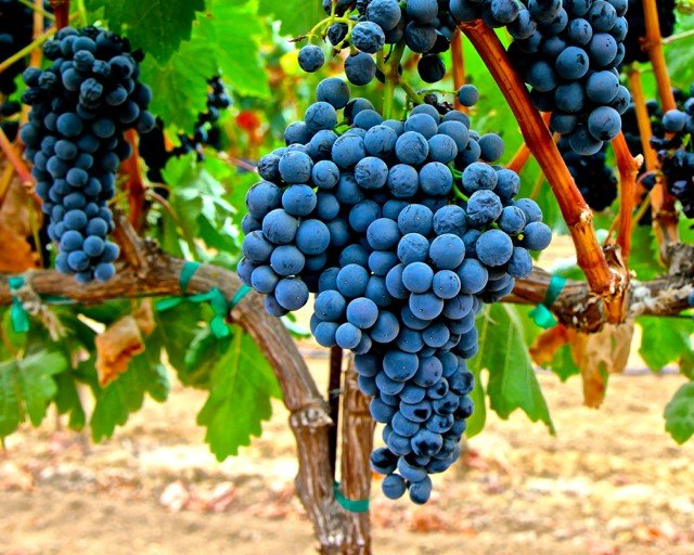 Tempranillo grapes from Spain