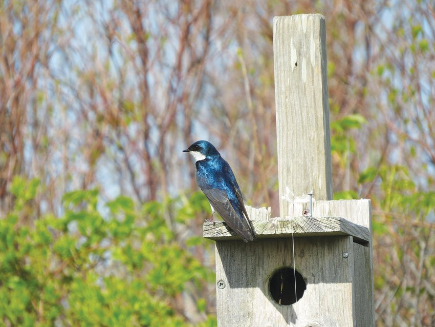 Tree Swallows, some of which will stay to nest, were a welcome sight this week.