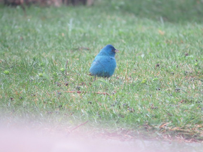 A male Indigo Bunting like this one arrived on Saturday.
