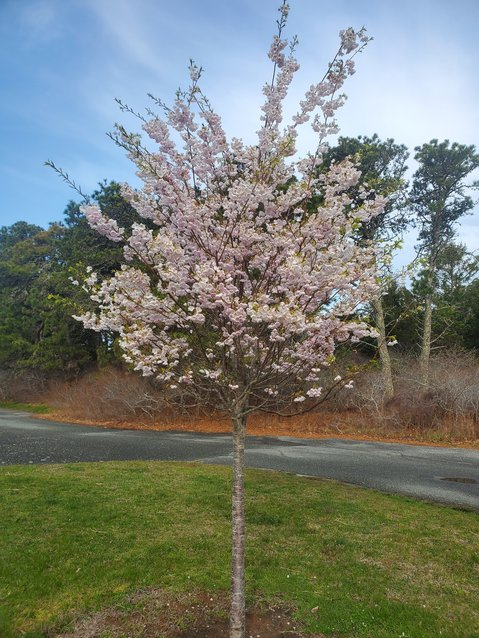 A Yoshiro cherry coming into full bloom this week.