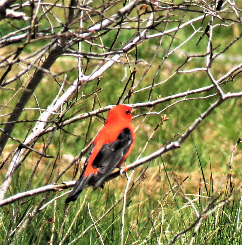 Scarlet Tanagers have been sighted several times this spring around the island, in Shimmo, Madaket, near town and Head of the Plains.