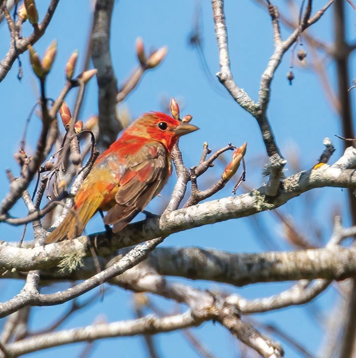 A Summer Tanager delighted birders in Madaket on Saturday.