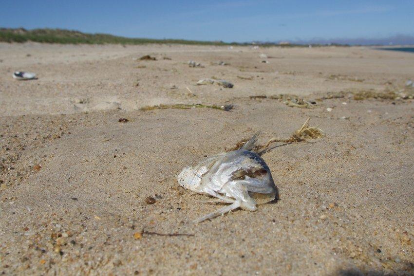 A dead menhaden, or bunker, on the beach in Surfside Thursday.