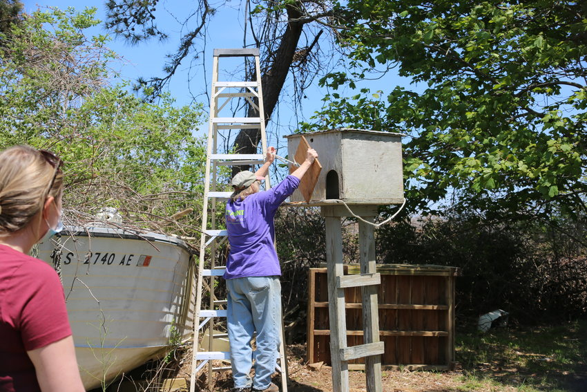 Maria Mitchell Association resident ornithologist Ginger Andrews places Owlbert in his new home.