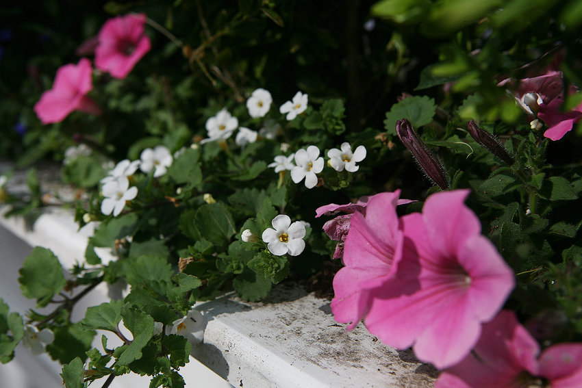 MAY 23, 2021 -- Flowers in a window box on Fair Street.