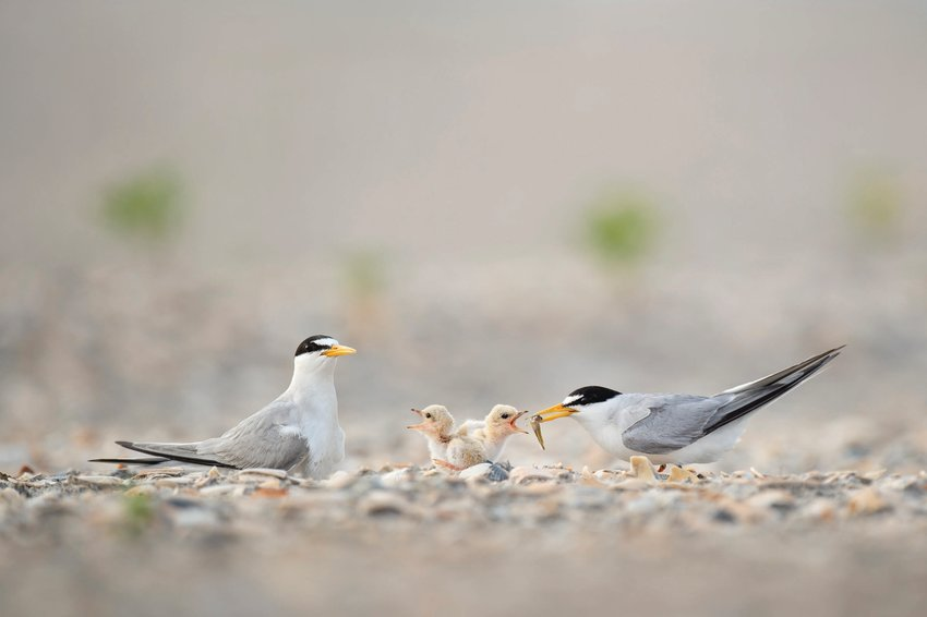 A pair of Least Tern adults feed their chicks a small minnow on a sandy beach.