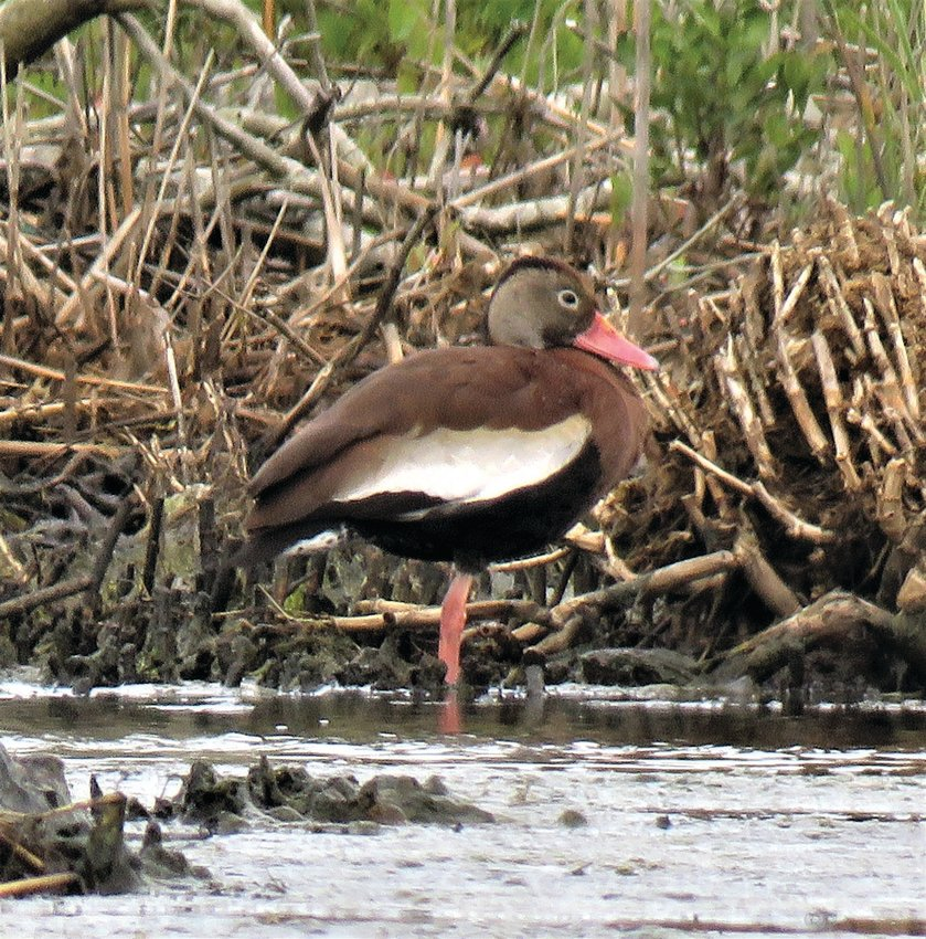 A Black-bellied Whistling Duck like this one was seen on Tuckernuck last Wednesday.