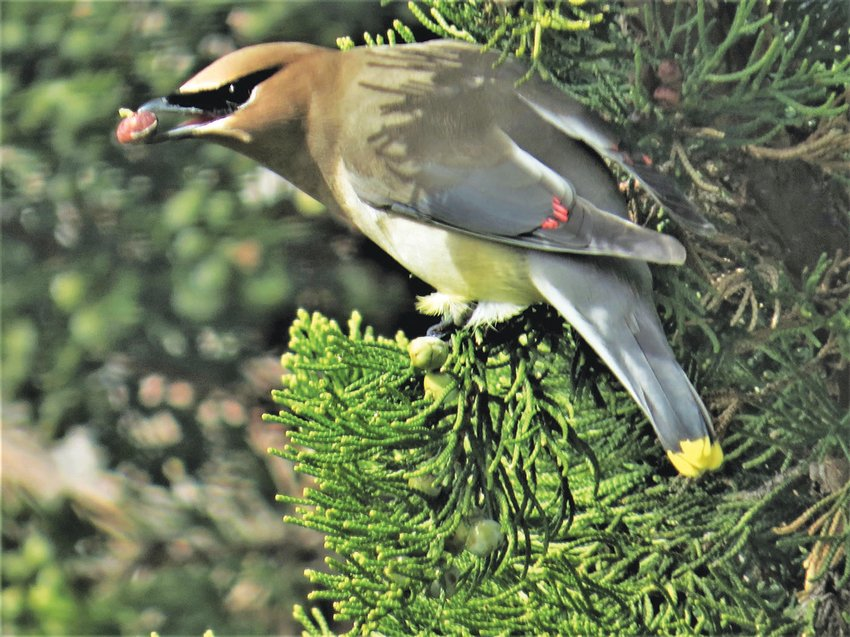 Adult Cedar Waxwings like this one have been more numerous on the island this week.