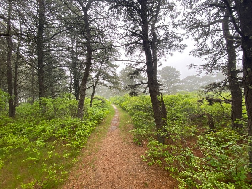 The path through Steve's Woods on a recent misty morning. The pitchpine forest borders Head of the Plains, one of the last significant tracts of sandplain grasslands left on the planet.