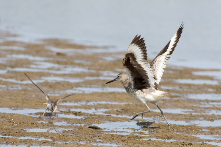 This Western Willet was seen at Smith's Point Sunday.