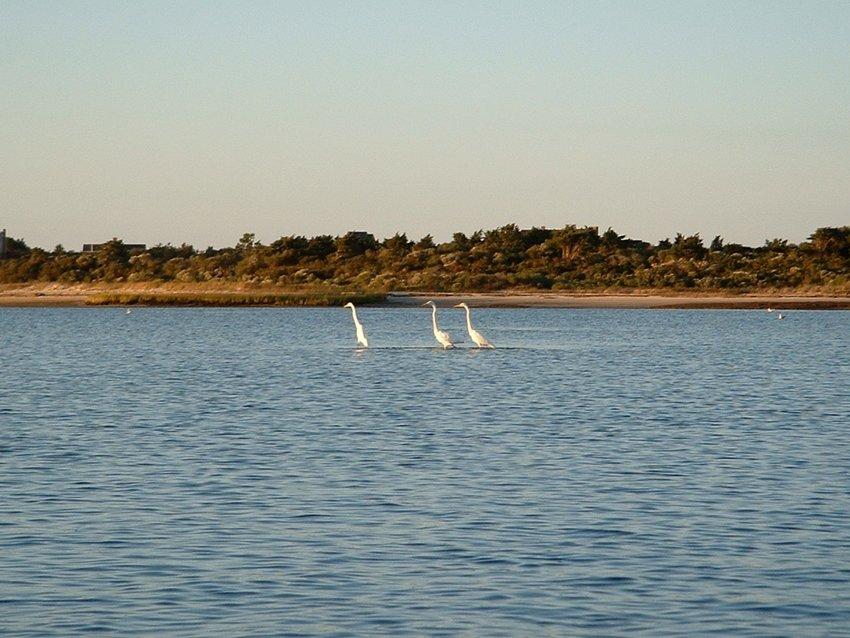 Great Egrets fish near Pocomo Point.