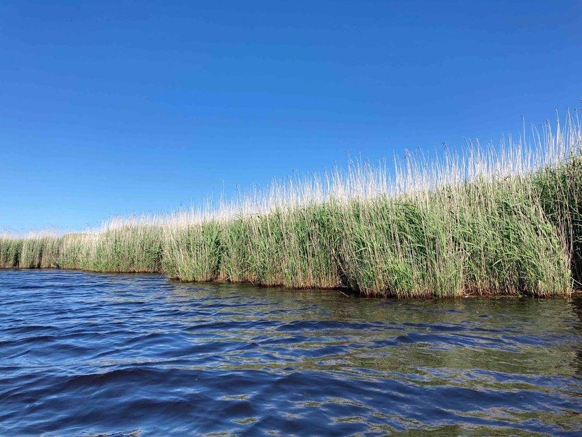 Highly-invasive phragmites line the three-mile shoreline of Hummock Pond.