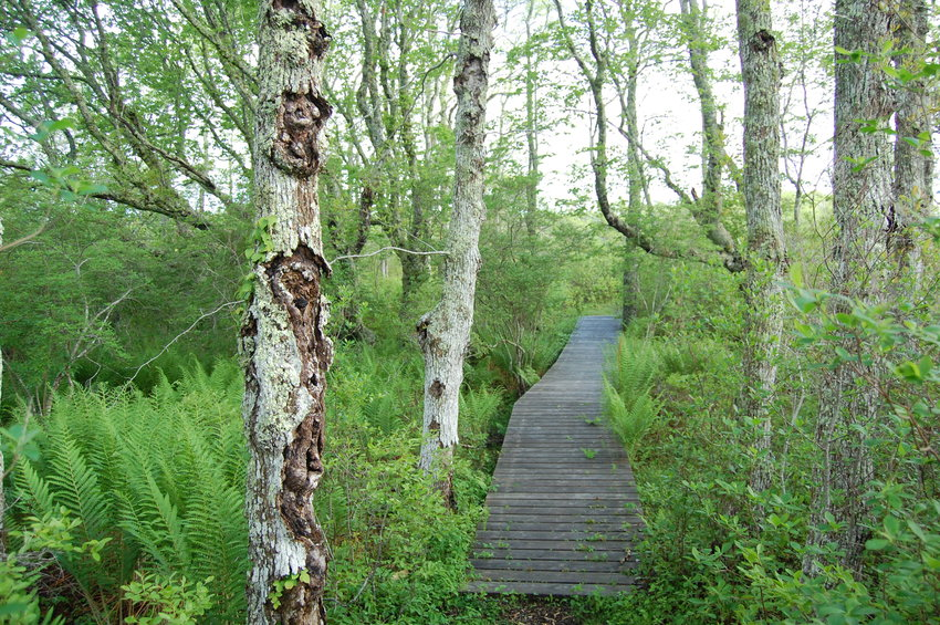 The elevated boardwalk along the Nantucket Land Bank's Stump Swamp trail.