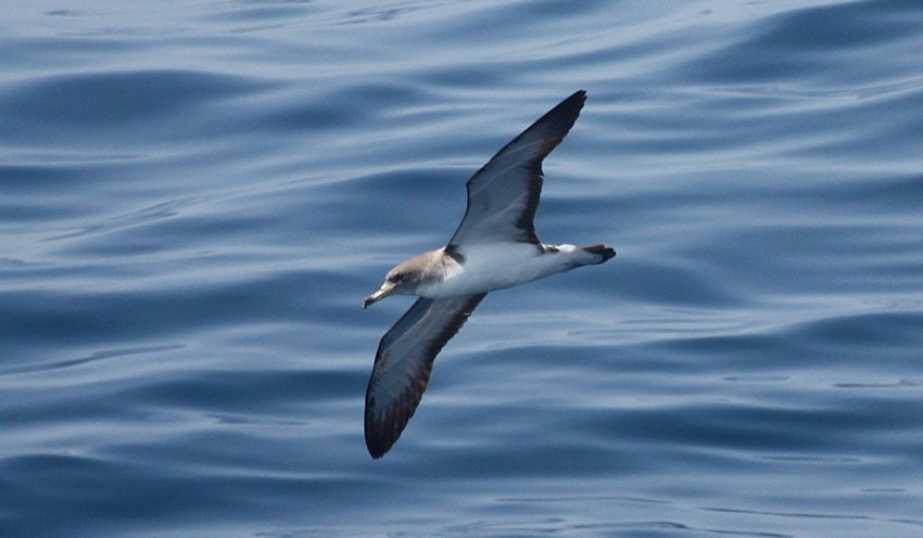 Two Cory's Shearwaters like this one were among the seabirds seen on Sunday.
