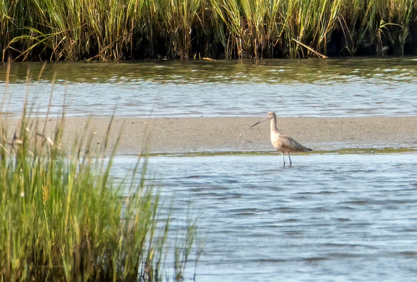This Marbled Godwit was spotted at the University of Massachusetts Field Station in Quaise last week.