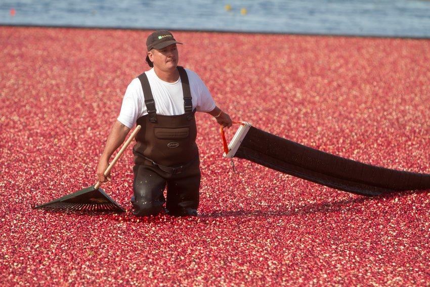 Harvesting cranberries on Nantucket.