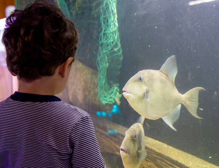 The Maria Mitchell Aquarium will hold its annual Release Day via Zoom Saturday.