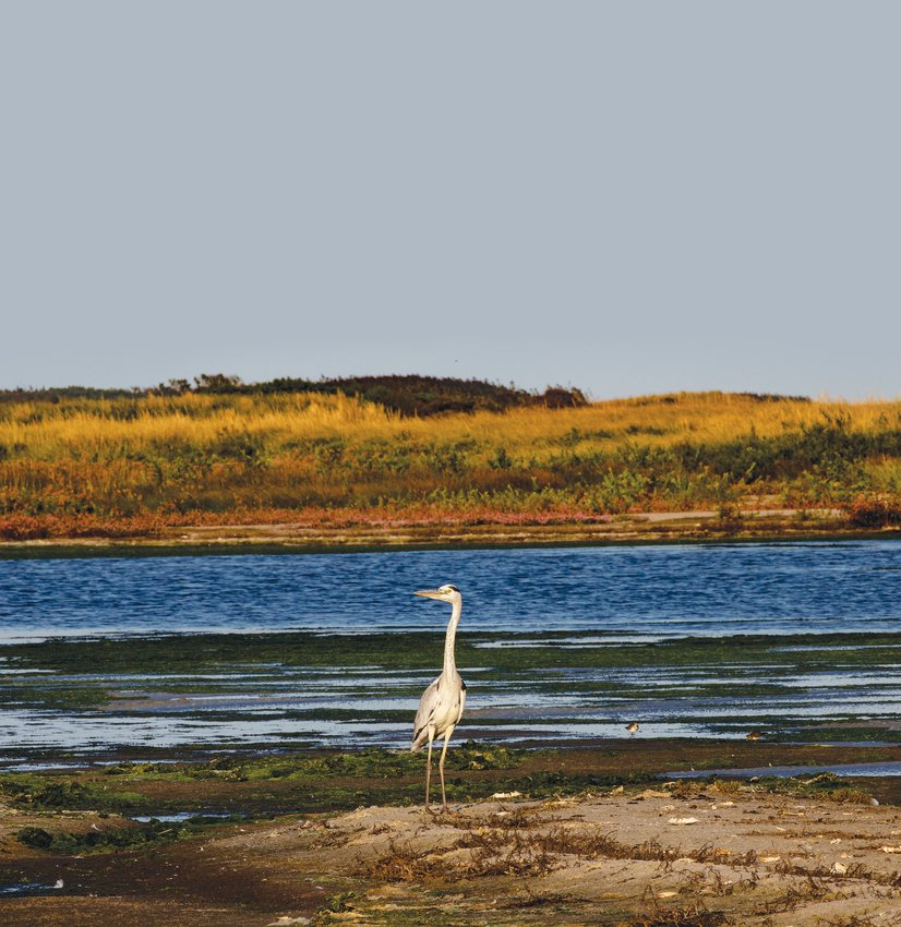 A rare gray heron on Tuckernuck last September.