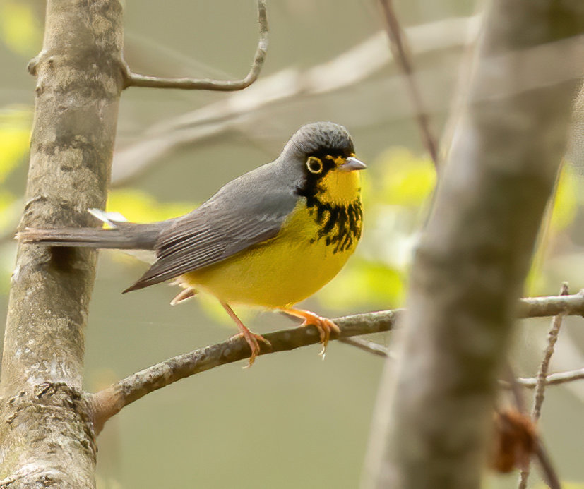 A Canada Warbler like this one was seen in Head of the Plains last Friday.