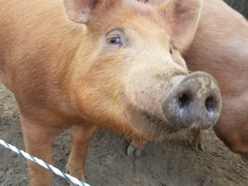 The Nantucket Land Bank is using pigs like these in an attempt to eradicate Japanese knotweed from one of its properties off First Way near the Nantucket schools.