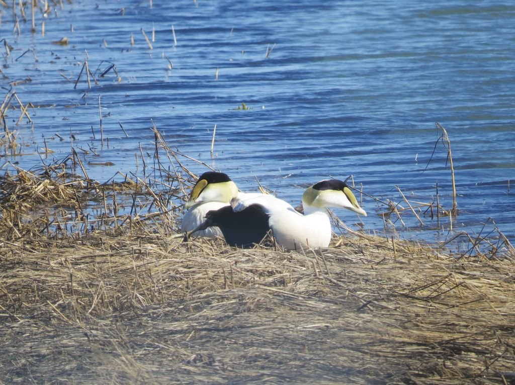 Common Eiders like these two were the most numerous species in Tuckernuck's annual Christmas Bird Count Dec. 23.