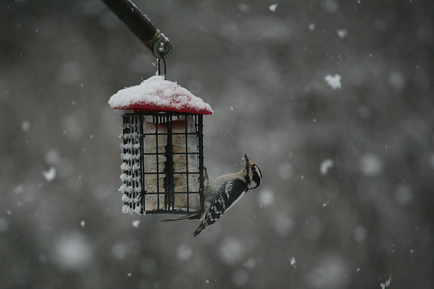 WINTER SCENES -- February 7, 2021 -- A woodpecker feasts at a feeder during Sunday's snow storm. Photo by Ray K. Saunders