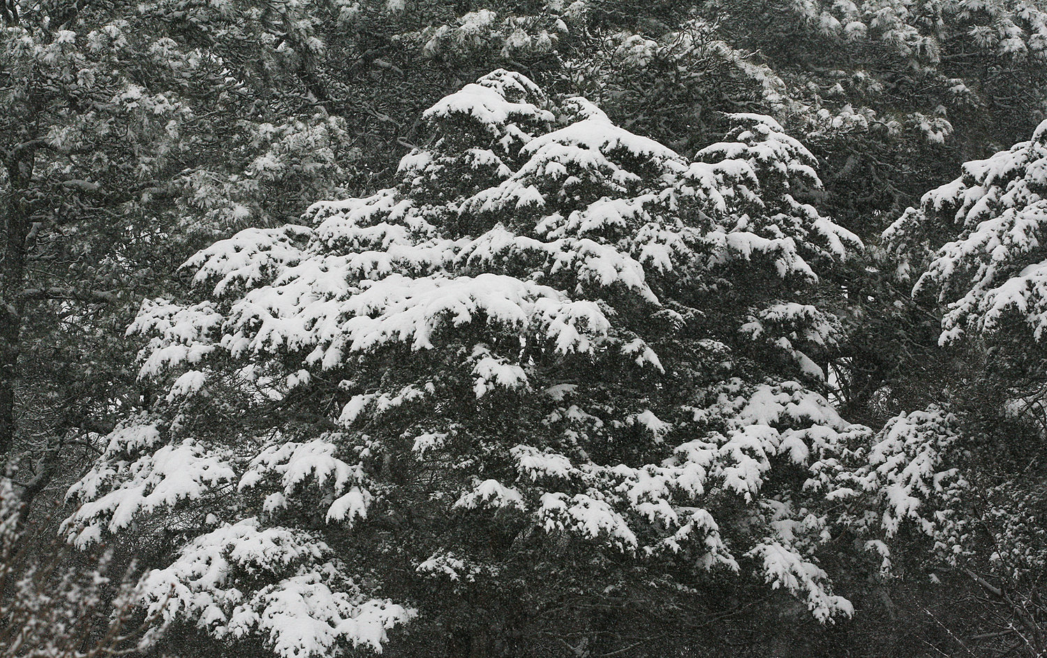 An evergreen in the snow.