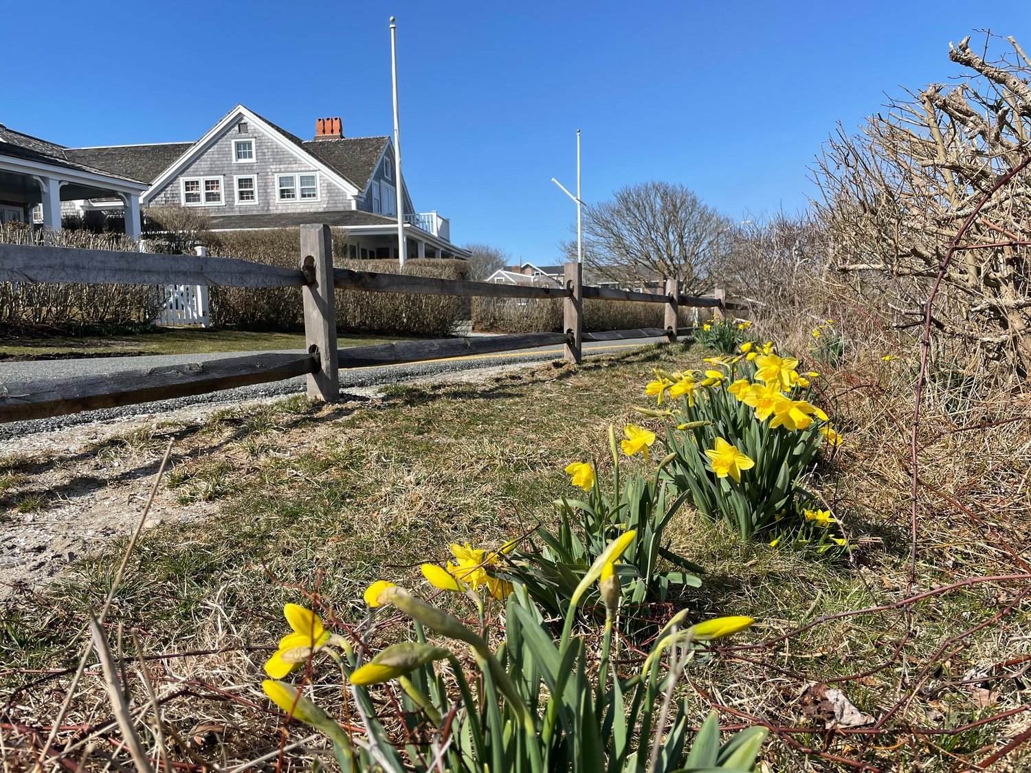 Daffodils in bloom in Sconset.