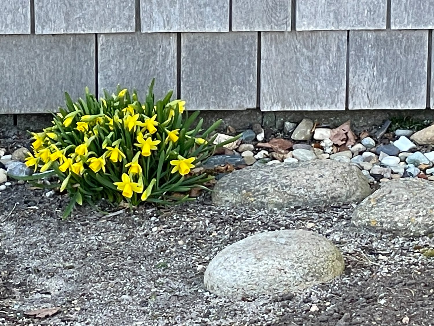 Daffodils seek the sun outside a Sconset home.