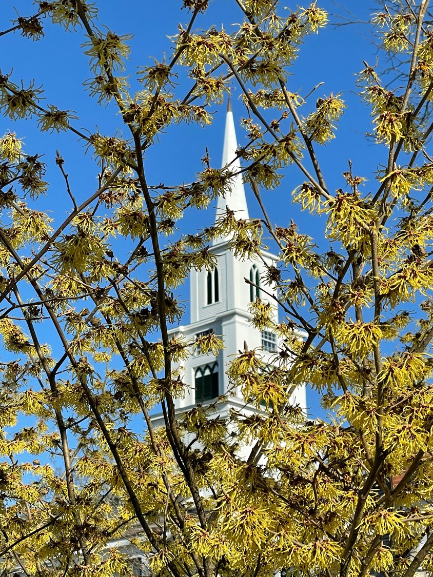 A view of the Congregational Church steeple through flowering trees March 27.