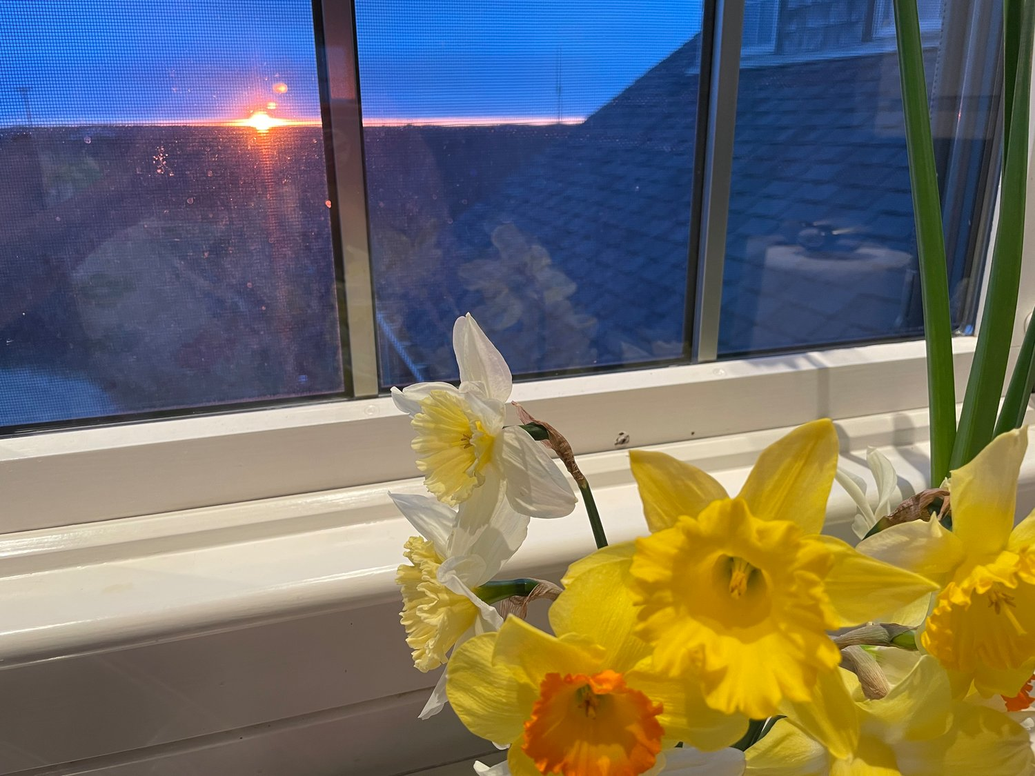 Photo by Hannah Judy.Daffodils at sunset April 8 in a Sconset home.