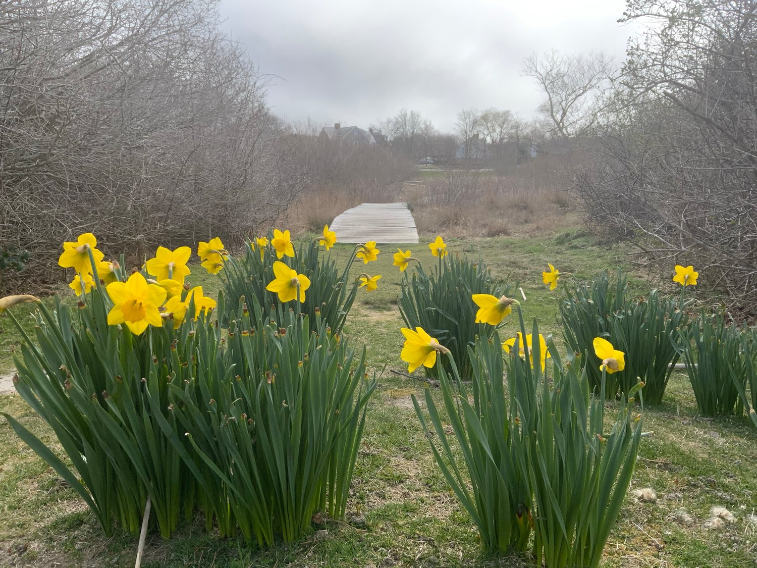 Photo by Jocelyn Brick.Daffodils near Lily Pond April 8.