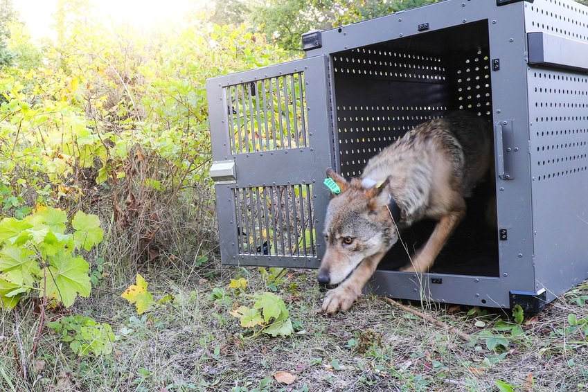 A female wolf emerging from her transport crate on Isle Royale.