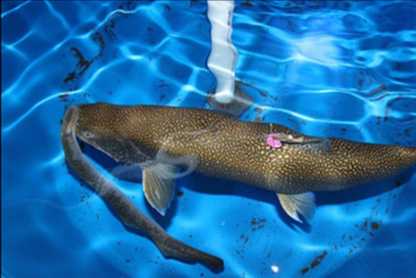 Lake trout with a parasitic sea lamprey attached.